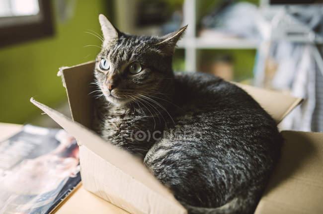 Großaufnahme einer Raubkatze, die in einer kleinen Box liegt — Stockfoto