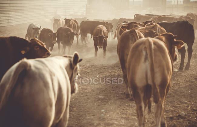 Mandria di tori in una fattoria — Foto stock