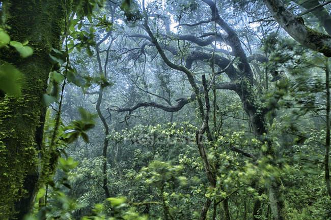 Spain, Tenerife, Laurel Tree in Parque Rural de Anaga — стоковое фото