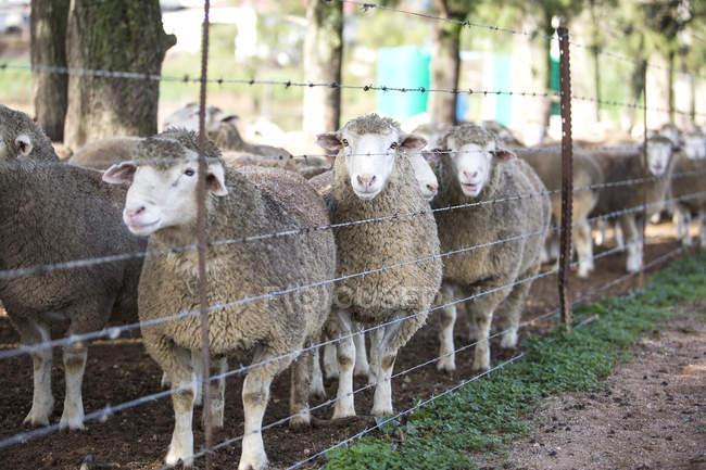 Отара овець позаду паркан денний час — стокове фото