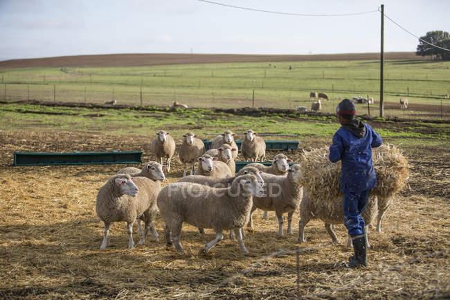 Uomo sulla fattoria nutrire le pecore con il fieno — Foto stock