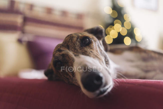 Portrait of Greyhound lying on couch at Christmas time — Stock Photo