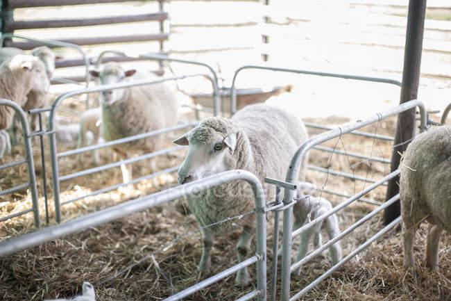 Pecora in piedi in recinto con fieno in fattoria — Foto stock