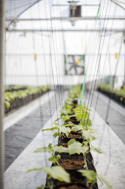 Close-up de plantas verdes, crescendo na estufa — Fotografia de Stock