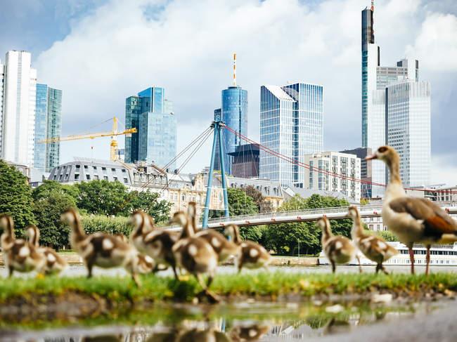 Німеччина, Франкфурт, вид на горизонт з сім'єю гусячий на передньому плані — стокове фото