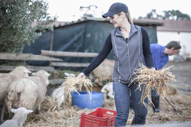Donna che dà fieno alla pecora in fattoria — Foto stock