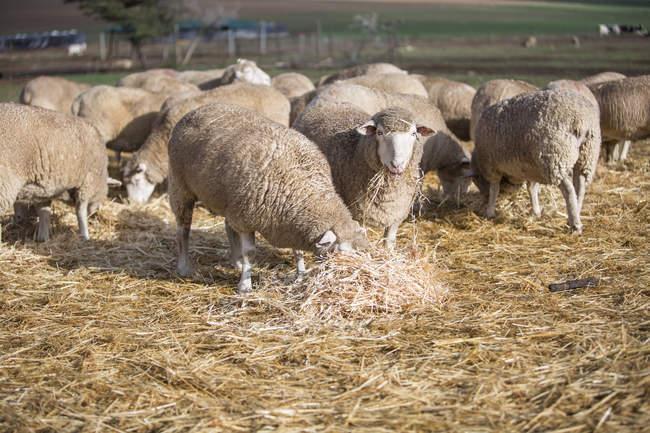Отара овець їдять сіна в денний час — стокове фото