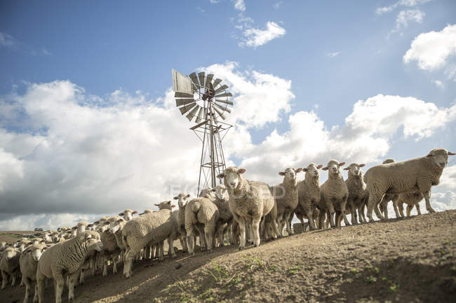 Daytime tilted view of sheep flock near wind mill — Stock Photo