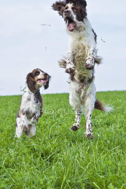 Dois inglês Springer Spaniels, saltando sobre um prado — Fotografia de Stock