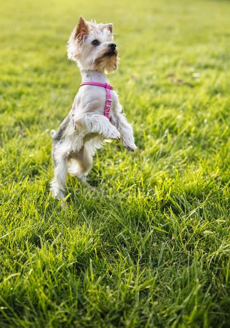 Yorkshire Terrier stehend auf Hinterbeinen auf einer Wiese — Stockfoto