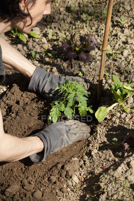 Man's hands planting tomato plant in the garden — Stock Photo