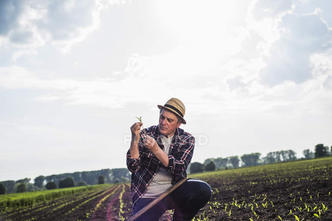 Farmer in a field examining crop — Stock Photo
