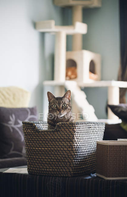 Amazed tabby cat sitting in basket at home — Stock Photo