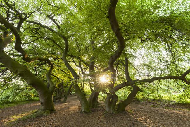 Alemanha, Suentel faias, Fagus sylvatica var. Suentelensis, contra o sol — Fotografia de Stock