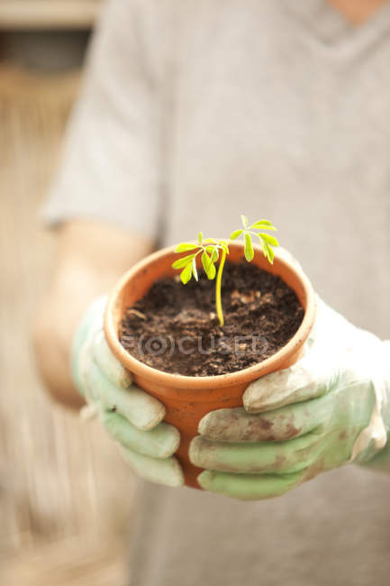 Cropped image of hands with gloves holding flowerpot with Moringa seedling — Stock Photo