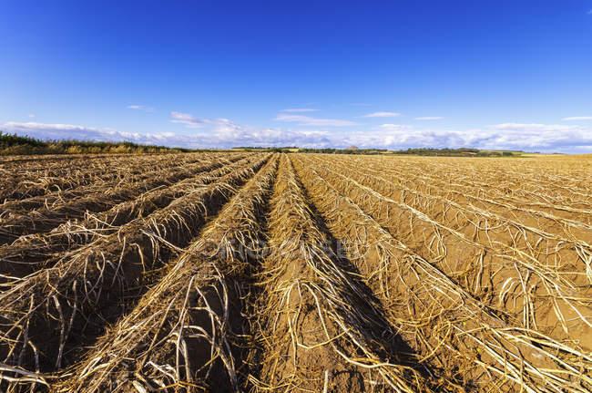 UK, Scotland, East Lothian, field of potatoes ready for harvesting — Stock Photo