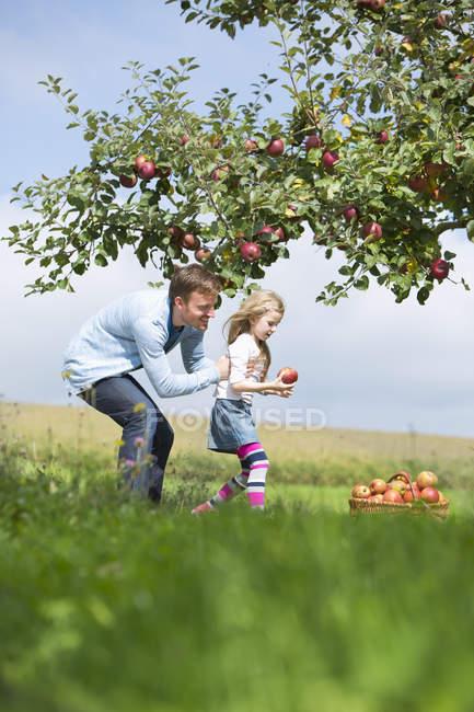 Kleines Mädchen und Vater pflücken Äpfel vom Baum — Stockfoto