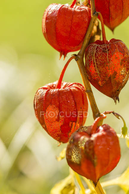 Chinese lanterns in autumn, close-up — Stock Photo