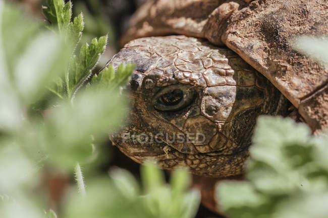 Porträt von Wald Schildkröte, Chelonoidis Verbreitungsgebiet — Stockfoto