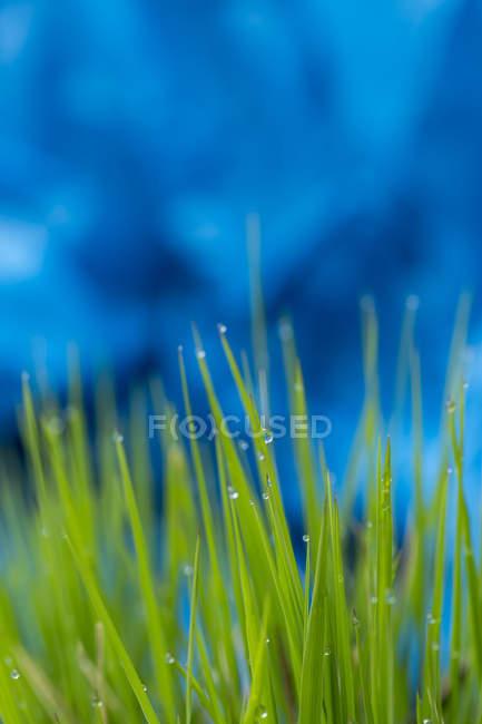 Herbes avec de l'eau descend, gros plan — Photo de stock
