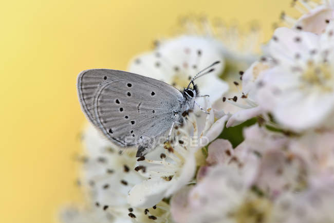Small blue on blossom — Stock Photo