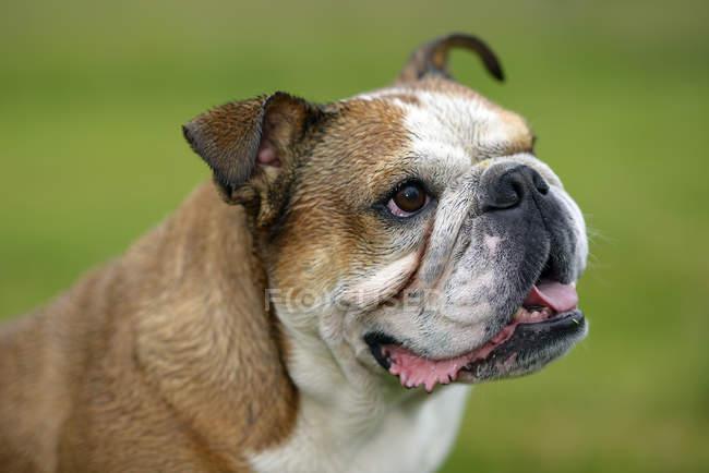 Englische Bulldogge mit Mund öffnen seitlich suchen — Stockfoto