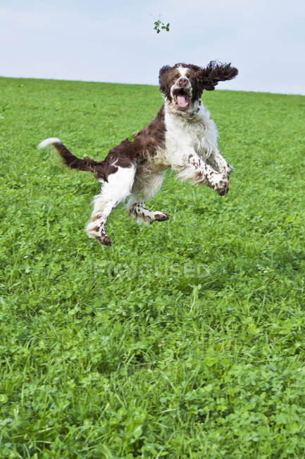 English Springer Spaniel sautant en l'air sur la Prairie — Photo de stock