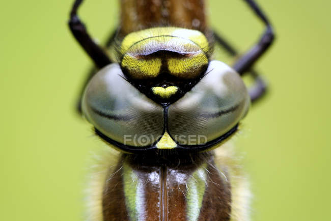 Глаза волосатые стрекоза — стоковое фото