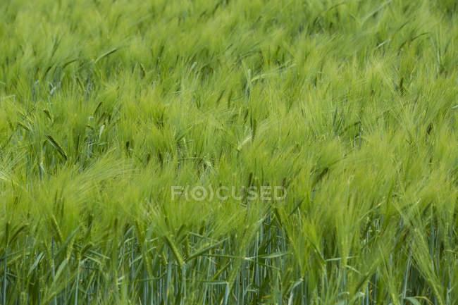 Зеленые Нива и травы в дневное время, полный кадр — стоковое фото