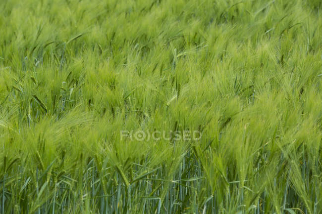 Green cornfield and grass during daytime, full frame — Stock Photo