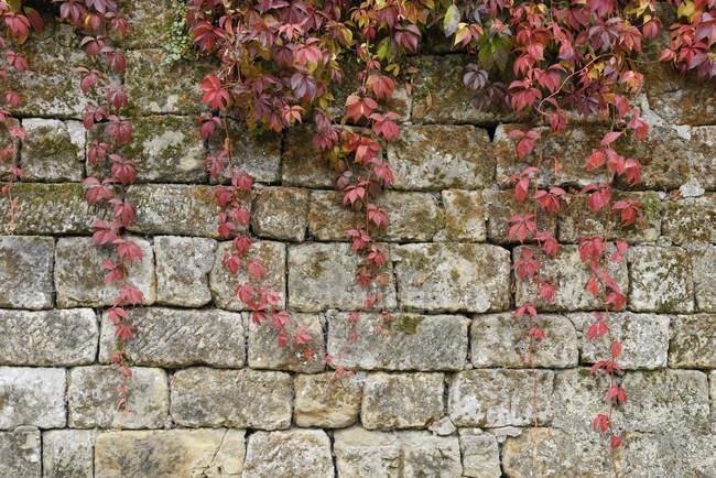 Japonês rastejante no outono na parede de pedra — Fotografia de Stock