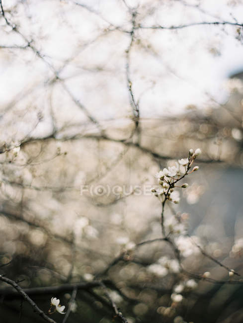 Twig of blossoming plum tree closeup view — Stock Photo