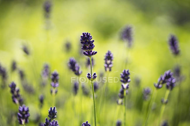 Lavender, Lavandula angustifolia, in garden, light green background — Stock Photo
