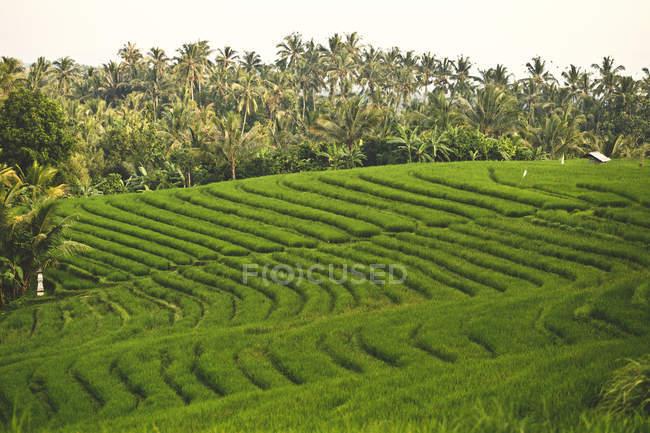 Індонезії Балі, азіатські краєвид з рисових полів — стокове фото