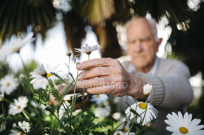 Senior man's hand picking flower in the garden — Stock Photo