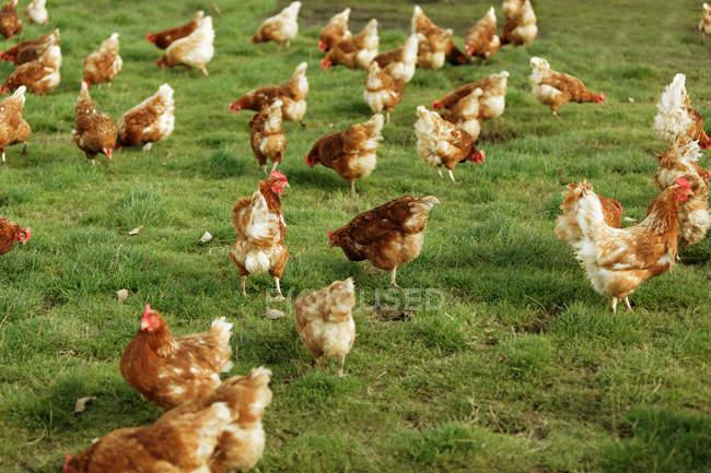 Galline in fattoria durante il giorno — Foto stock