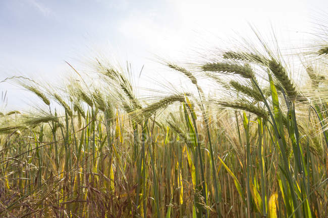 Germany, Hordeum vulgare, close up of field with barley — Stock Photo