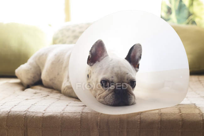 French bulldog with medical collar lying on sofa — Stock Photo