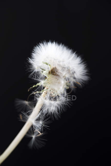 Aging blowball in front of black background, close-up — Stock Photo