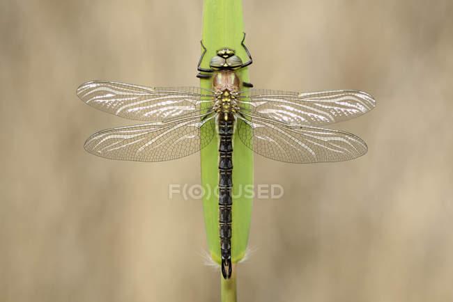 Pelosa libellula su foglia verde — Foto stock