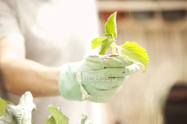 Обрезанное изображение руки перчаткой, индийский Огуречник аптечный холдинг — стоковое фото