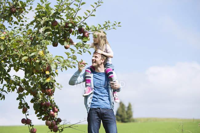 Kleines Mädchen pflückt einen Apfel vom Baum, Mädchen sitzt auf den Schultern des Vaters — Stockfoto