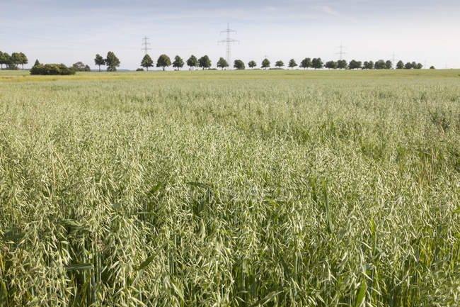 Germany, field with oat during daytime , Avena — Stock Photo
