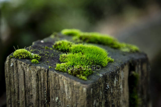 Moss on wooden stake on blurred background — Stock Photo