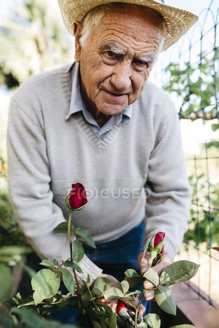Портрет пожилого человека, срезающего розы в саду — стоковое фото