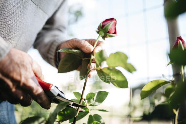 A mão do homem sênior cortando rosa no jardim, close-up — Fotografia de Stock
