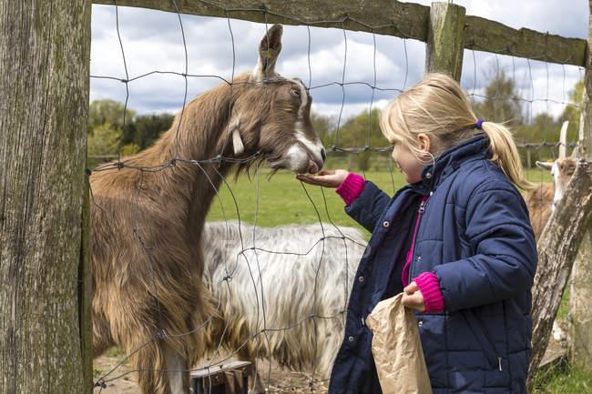 Bionda bambina che nutre capre — Foto stock