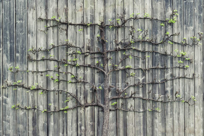 Грушевое дерево растет на старой деревянной стене — стоковое фото
