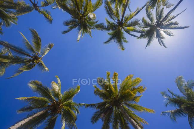 Palmeiras contra o sol, vista inferior — Fotografia de Stock
