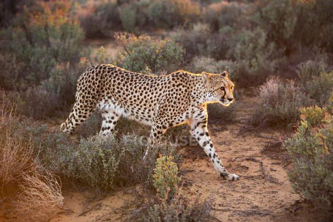 Гепарда Acinonyx jubatus прогулки над полем — стоковое фото